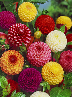 Mixed 'Pom Pom' Dahlias (Pack of 5 Tubers/Bulbs)