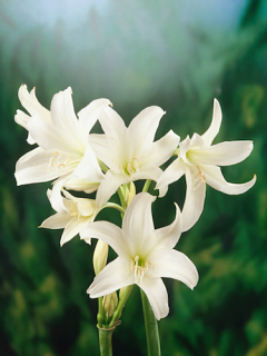 Crinum Powelli Alba (Pack of 3)