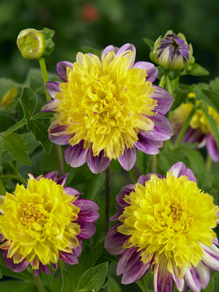 Dahlia 'Boogie Woogie' (Pack of 3 Tubers/Bulbs)