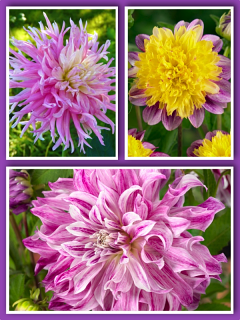 Lavender Dream Mixed Dahlias (Pack of 9 Tubers/Bulbs)