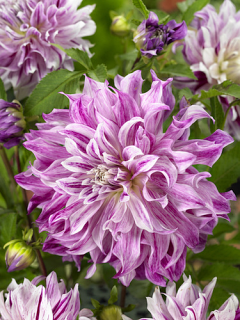 Dahlia 'Bristol Stripe' (Pack of 3 Tubers/Bulbs)