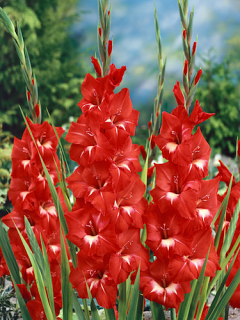 Gladiolus 'Traderhorn' (Pack of 15)