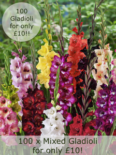 Mixed Gladiolus (Pack of 100) | Amazing Price!