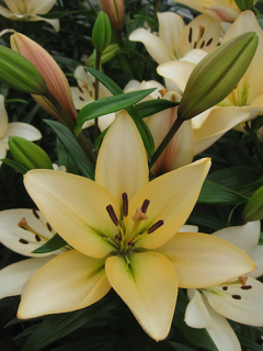 Lily 'Champion Diamond'