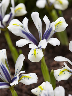 Iris 'Eye Catcher'