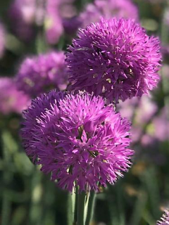 Allium Rosy Dream (Pack of 10 Bulbs)