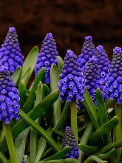 Muscari 'Marleen' (Pack of 20 Bulbs)