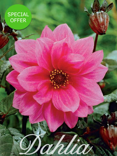 Dahlia 'Fascination' (Pack of 3 Tubers/Bulbs)