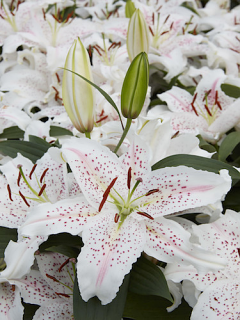 Lily 'Madelaine'