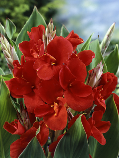 Red Canna (Pack of 3)
