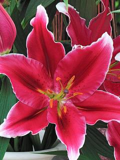 Lily 'Metropolitan'