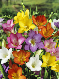 Mixed Freesias (Pack of 30 Bulbs) | Top Size Bulbs