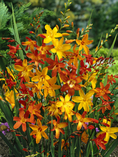 Crocosmia Mixed (Pack of 20)