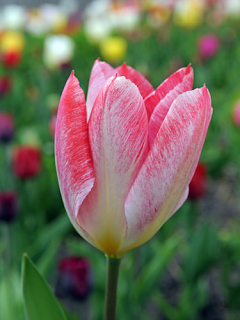 Tulip 'Flaming Purissima' (Pack of 15 Bulbs)