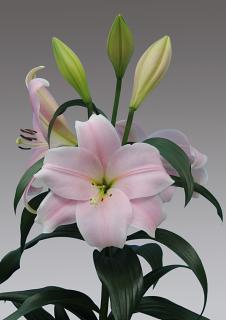 Lily 'Cali'