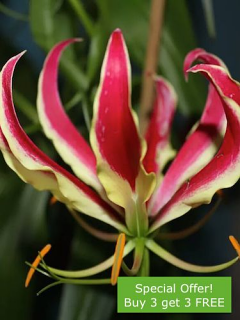 Gloriosa (Pack of 3 GET 3 FREE)
