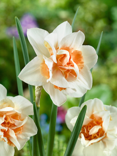 Narcissus 'Replete' (Pack of 20 Bulbs)