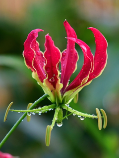 Gloriosa | The Flame Lily