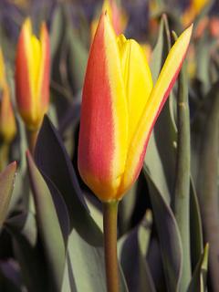 Tulip 'Giuseppe Verdi'
