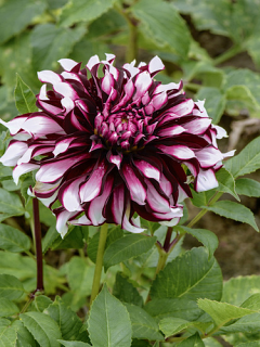 Dahlia 'Tartan' (Pack of 3 Tubers/Bulbs)