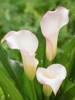 Zantedeschia 'Brasilia' (Pack of 3 Bulbs)
