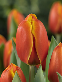 Tulip 'Triple A' (Pack of 15 Bulbs)