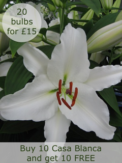 Lily 'Casa Blanca' (Pack of 10 plus 10 FREE) | Offer