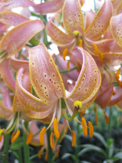 Fairy Morning Martagon Lily