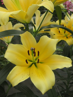 Lily 'Portugal'