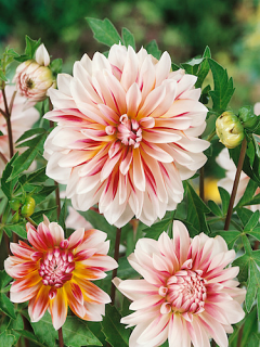 Dahlia 'Caribbean Fantasy' (Pack of 3 Tubers/Bulbs)