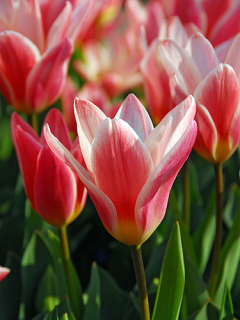 Tulip 'Heart's Delight'
