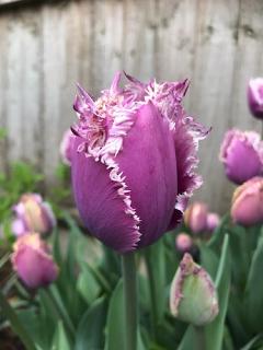 Tulip 'Cummins' (Pack of 15 Bulbs)