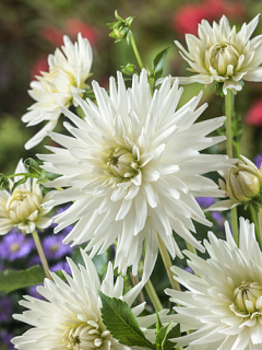 Dahlia 'White Star' (Pack of 3 Tubers/Bulbs)