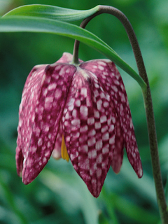 Fritillaria Meleagris (Pack of 20 Bulbs)