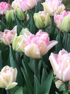Tulip 'Angelique' (Pack of 15 Bulbs)