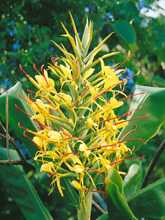 Hedychium Gardnerianum The 'Ginger Lily'