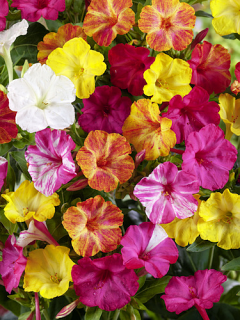 Mirabilis Jalapa (Pack of 10)