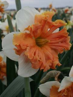 Narcissus 'Shrike' (Pack of 10 Bulbs)