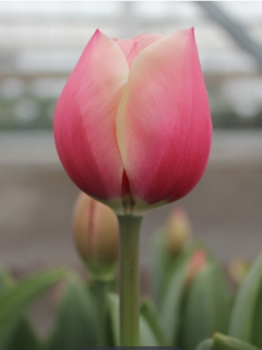 Tulip 'Russian Princess'