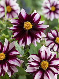 Dahlia 'Edge of Joy' (Pack of 3 Tubers/Bulbs)