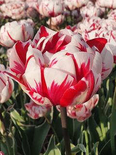 Tulip 'Carnaval de Nice' (Pack of 15 Bulbs)