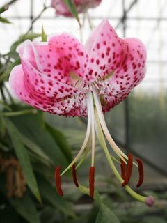 Speciosum Uchida