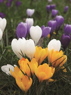 Mixed Crocus (Pack of 50 Bulbs)
