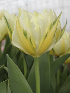 Tulip 'Exotic Emperor' (Pack of 15 Bulbs)