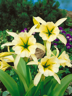 Hymenocallis Festalis - Yellow (Pack of 3 Bulbs)