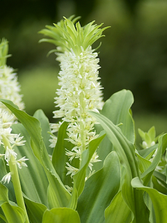 Eucomis Autumnalis (Pack of 3 Bulbs)
