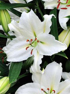 Lily 'Crystal Blanca'
