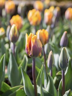 Tulip 'Princess Irene' (Pack of 15 Bulbs)