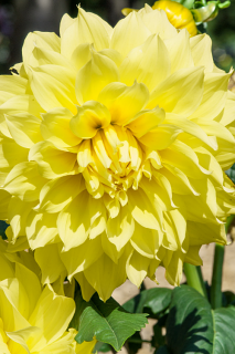 Dahlia 'Kelvin Floodlight'