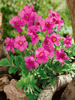 Incarvillea Delavayi (Pack of 3 Bulbs)